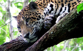 Jaguars are endangered through loss of their forest habitats but several World Land Trust reserves are helping protect them.